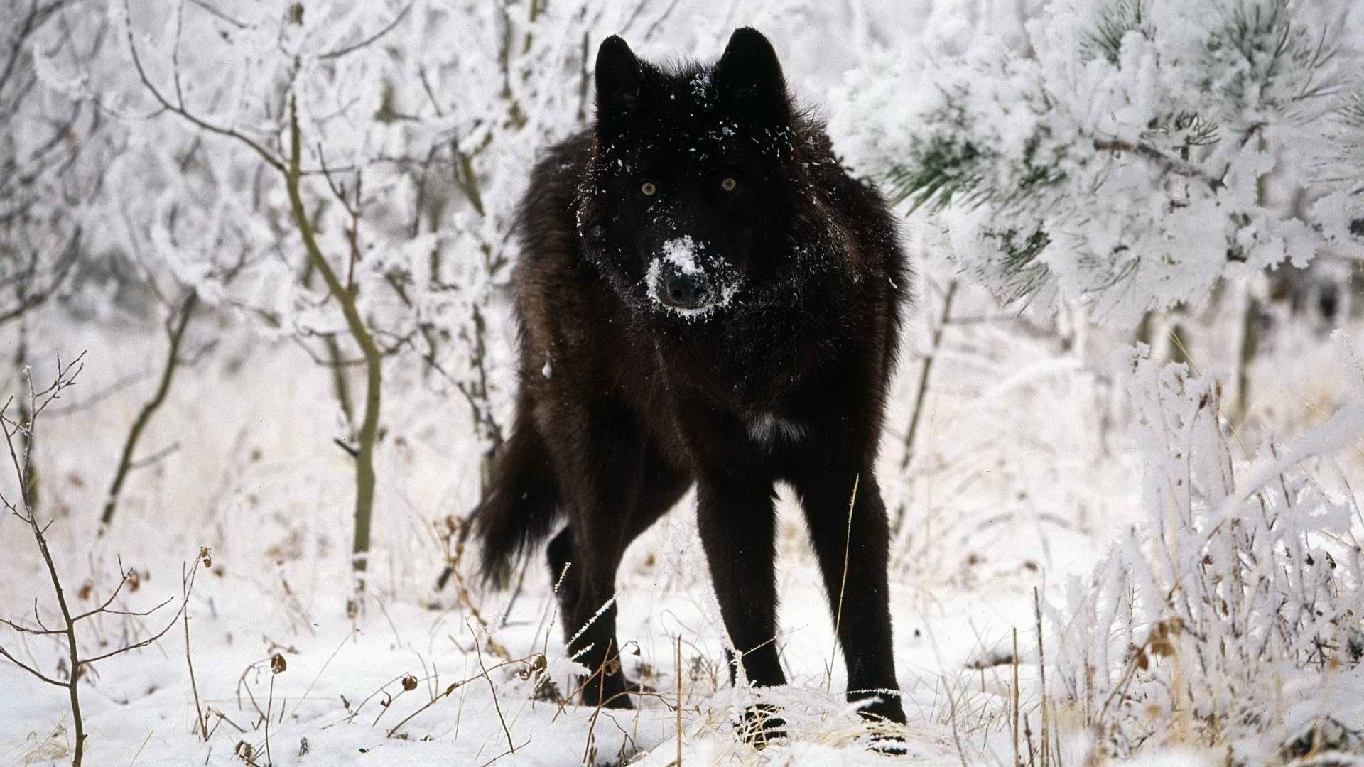 Free download Wolf background ID:117931 1080p for computer
