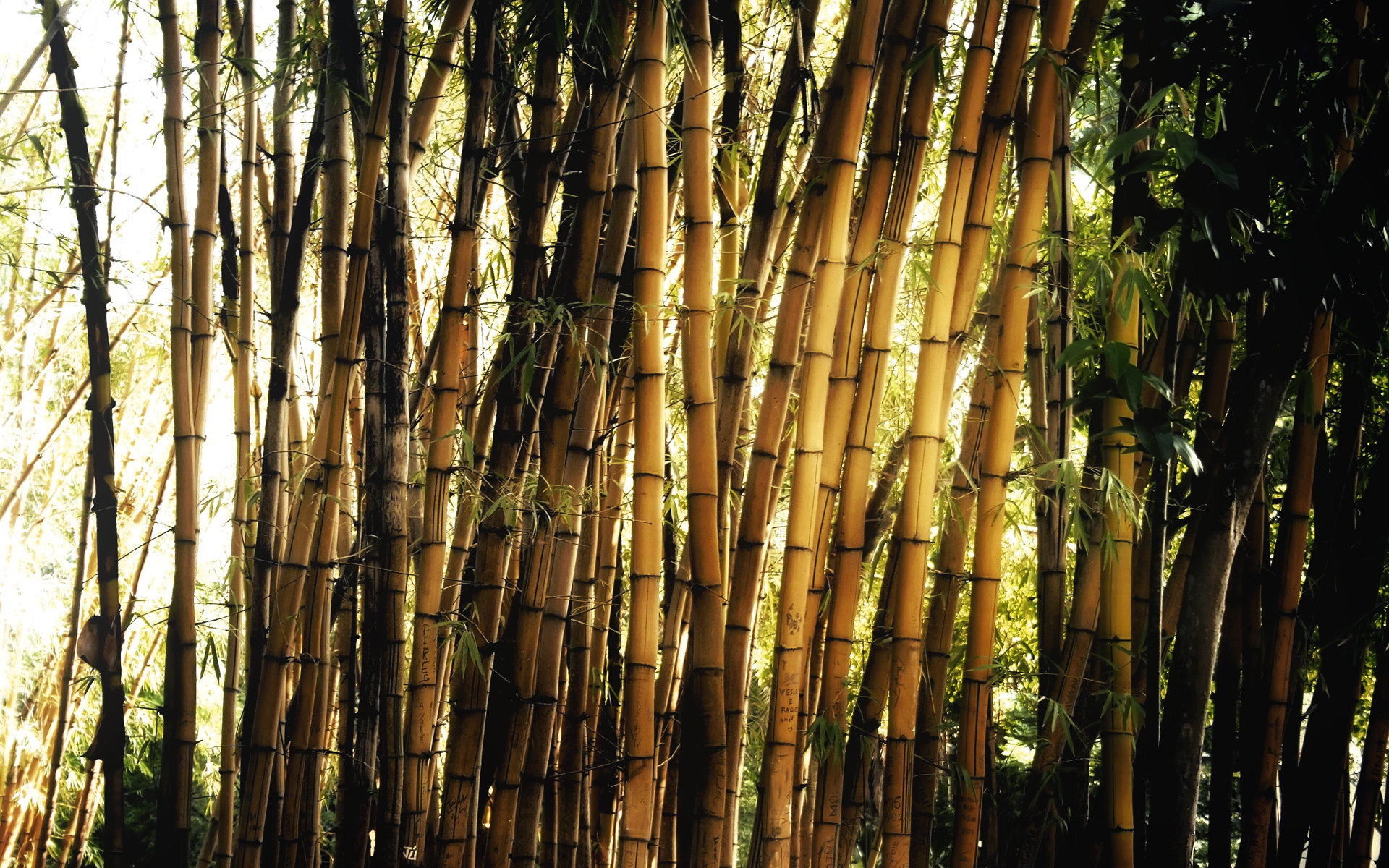 Best Bamboo background ID:246837 for High Resolution hd 1920x1200 desktop