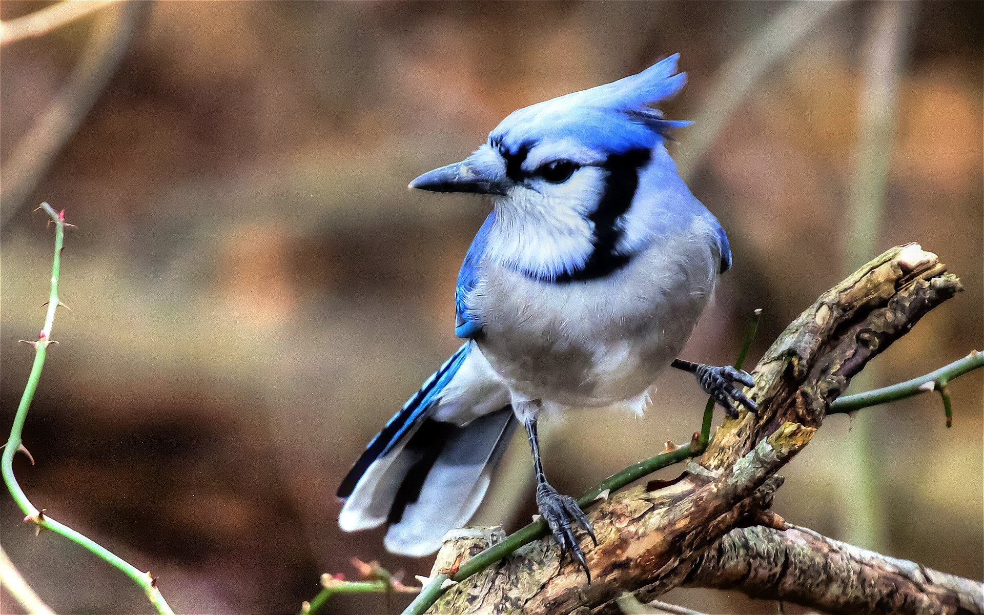 Free download Blue Jay background ID:158397 hd 1920x1200 for desktop