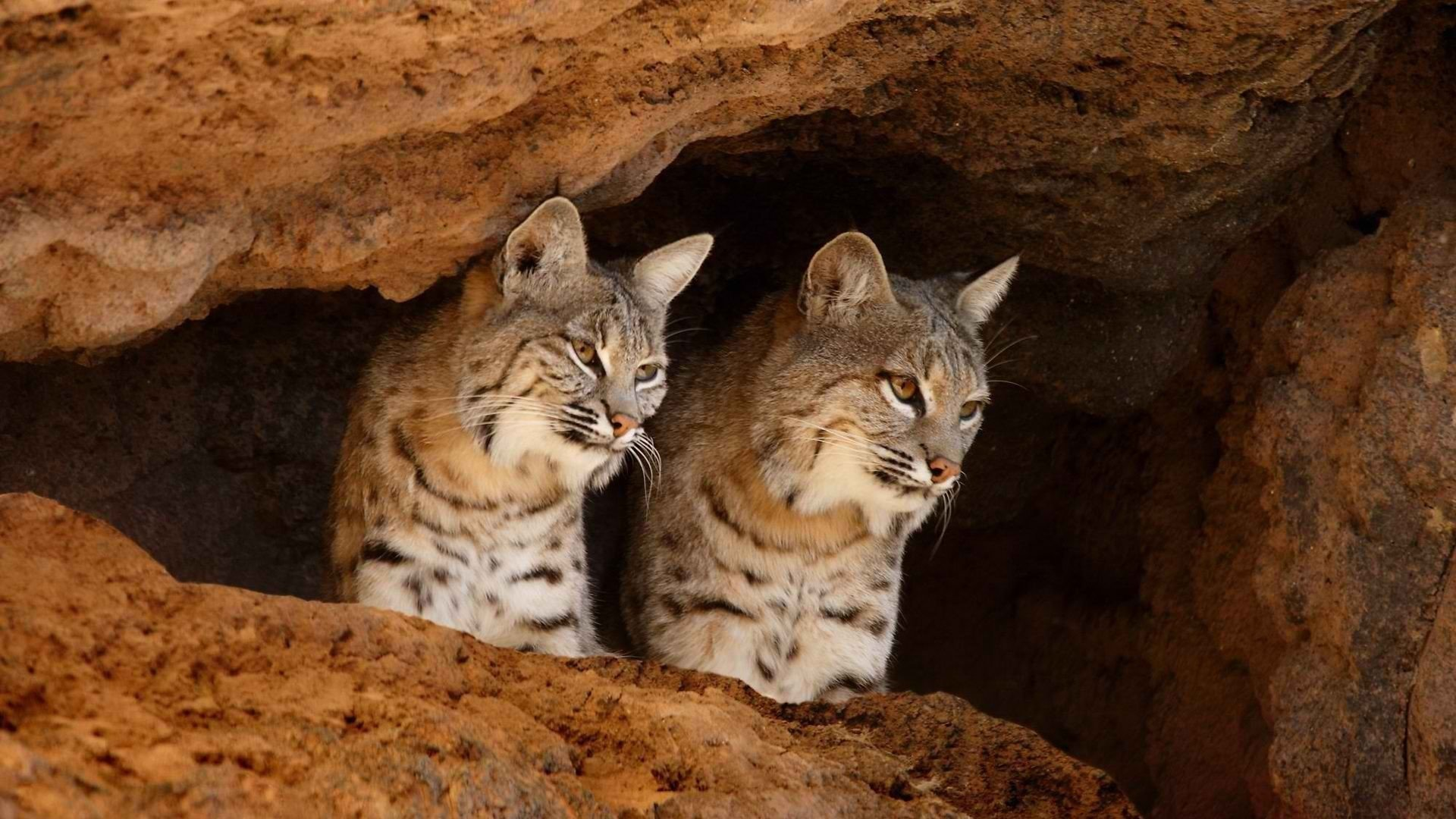Awesome Bobcat free background ID:191653 for full hd 1920x1080 PC