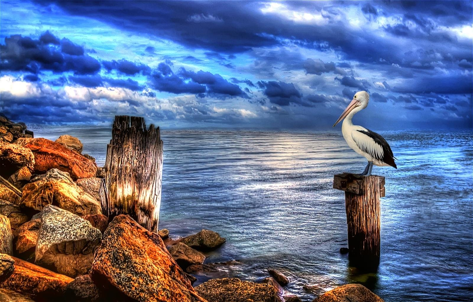 High resolution Pelican hd 1600x1024 background ID:189580 for desktop
