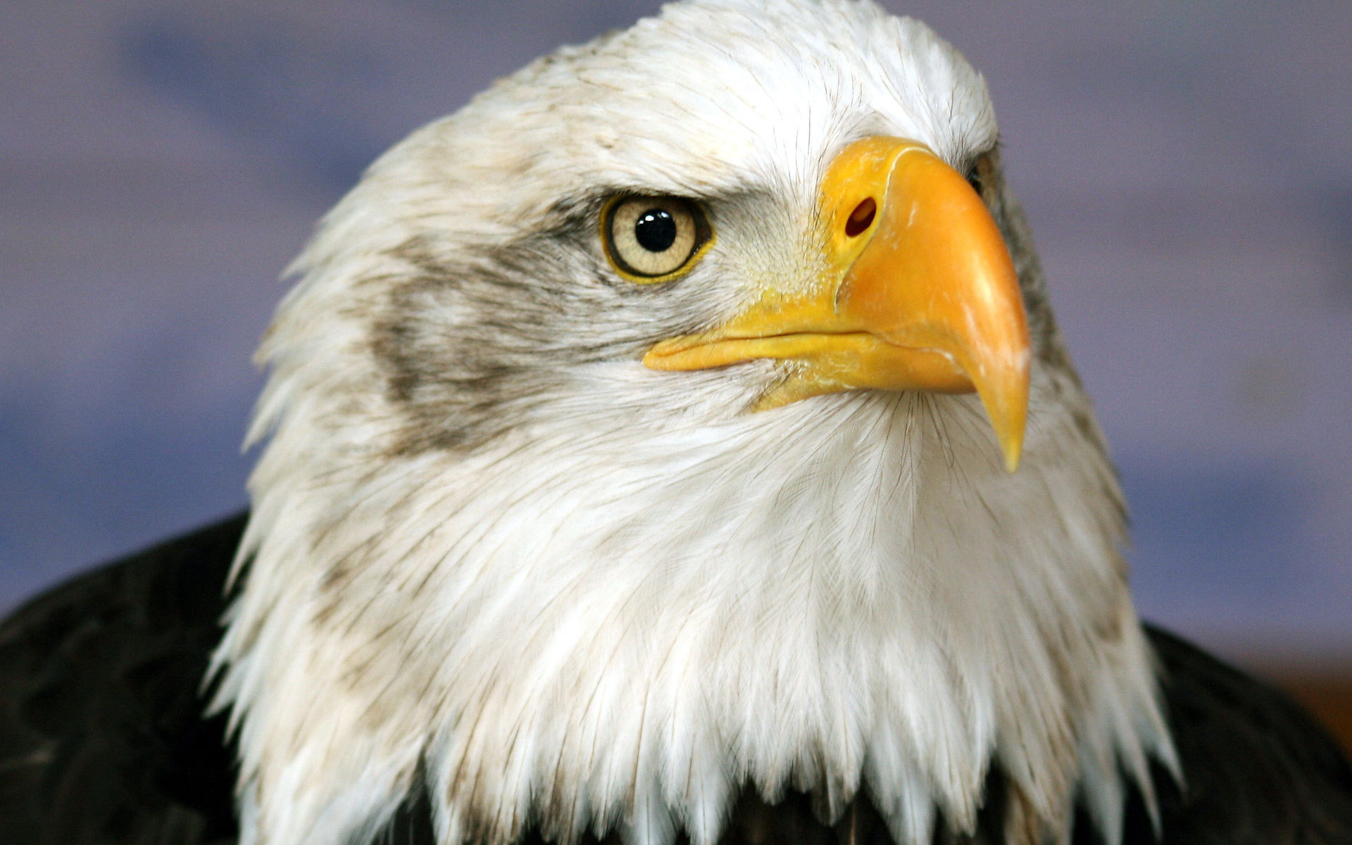 Awesome American Bald Eagle free wallpaper ID:68793 for hd 1920x1200 computer