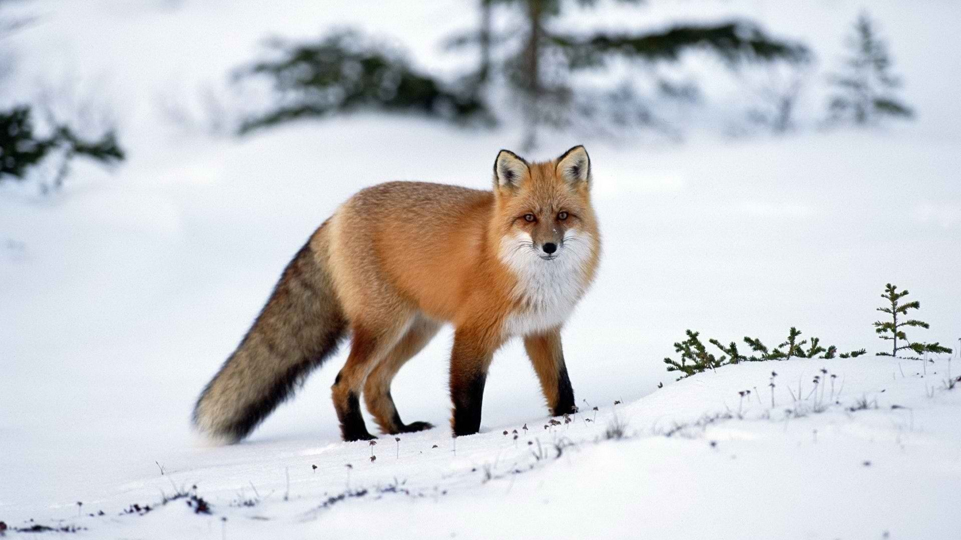Awesome Fox free wallpaper ID:58894 for full hd PC