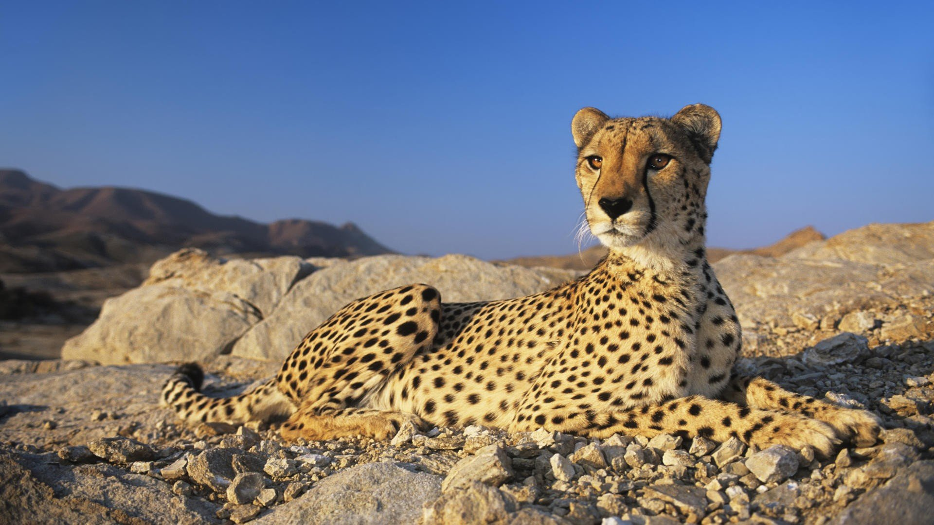 Best Cheetah background ID:161879 for High Resolution hd 1080p desktop