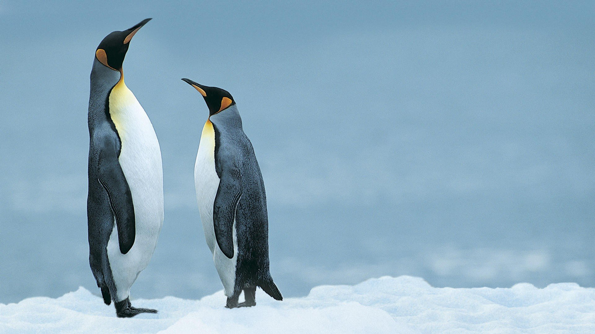 High resolution Penguin full hd wallpaper ID:149399 for computer