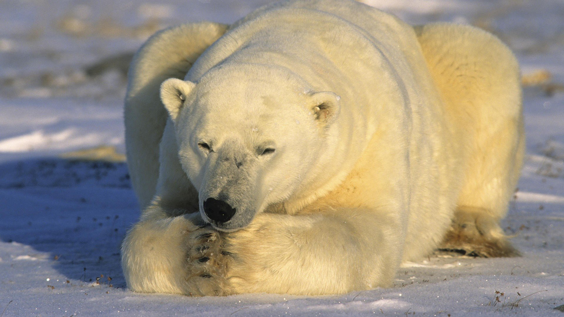 Free Polar Bear high quality background ID:359718 for full hd desktop