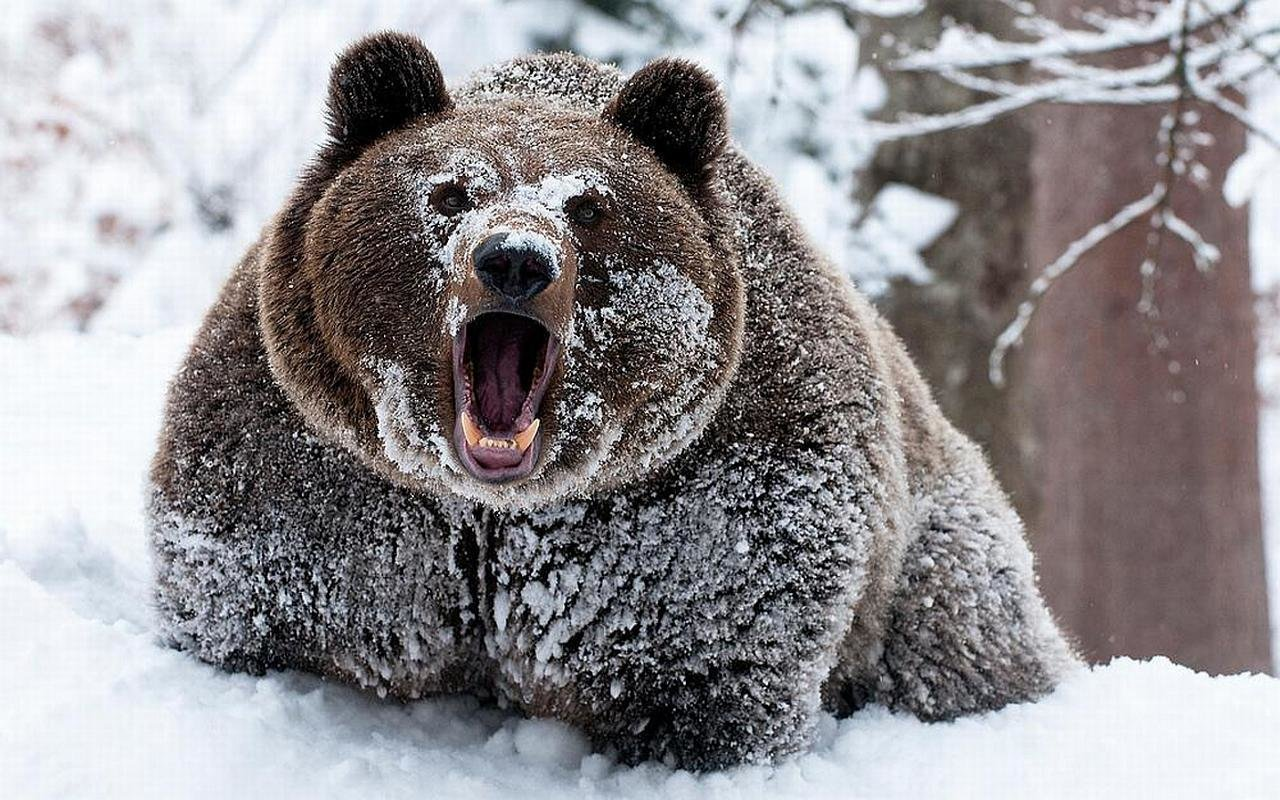 Awesome Bear free wallpaper ID:352967 for hd 1280x800 PC