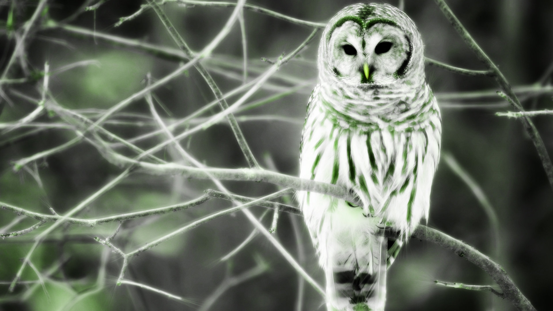 Download hd 1080p Barred Owl PC wallpaper ID:91357 for free