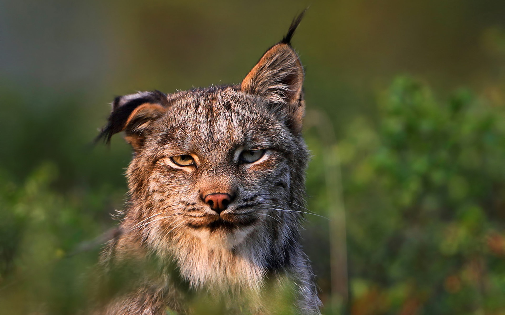 Free download Lynx background ID:105862 hd 1920x1200 for desktop