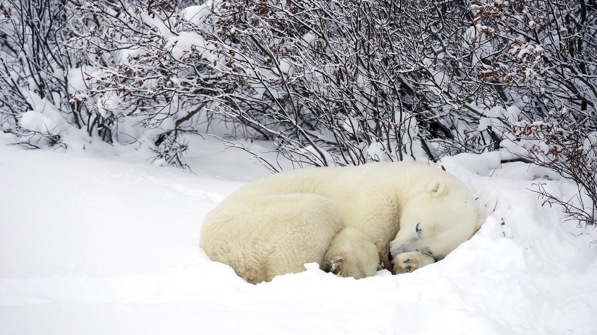 Download hd 1080p Polar Bear computer wallpaper ID:359902 for free