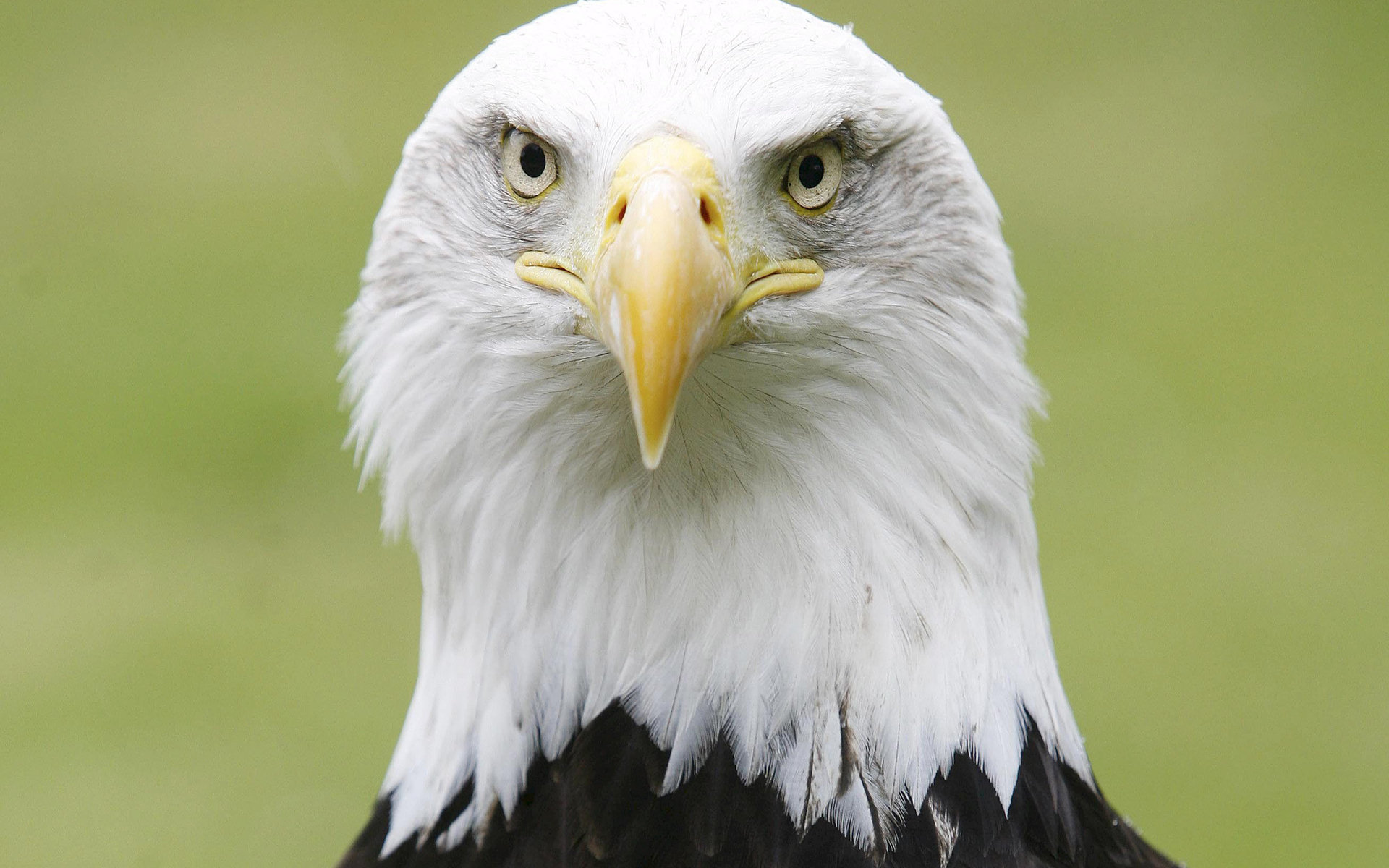 Free American Bald Eagle high quality background ID:68704 for hd 1920x1200 PC