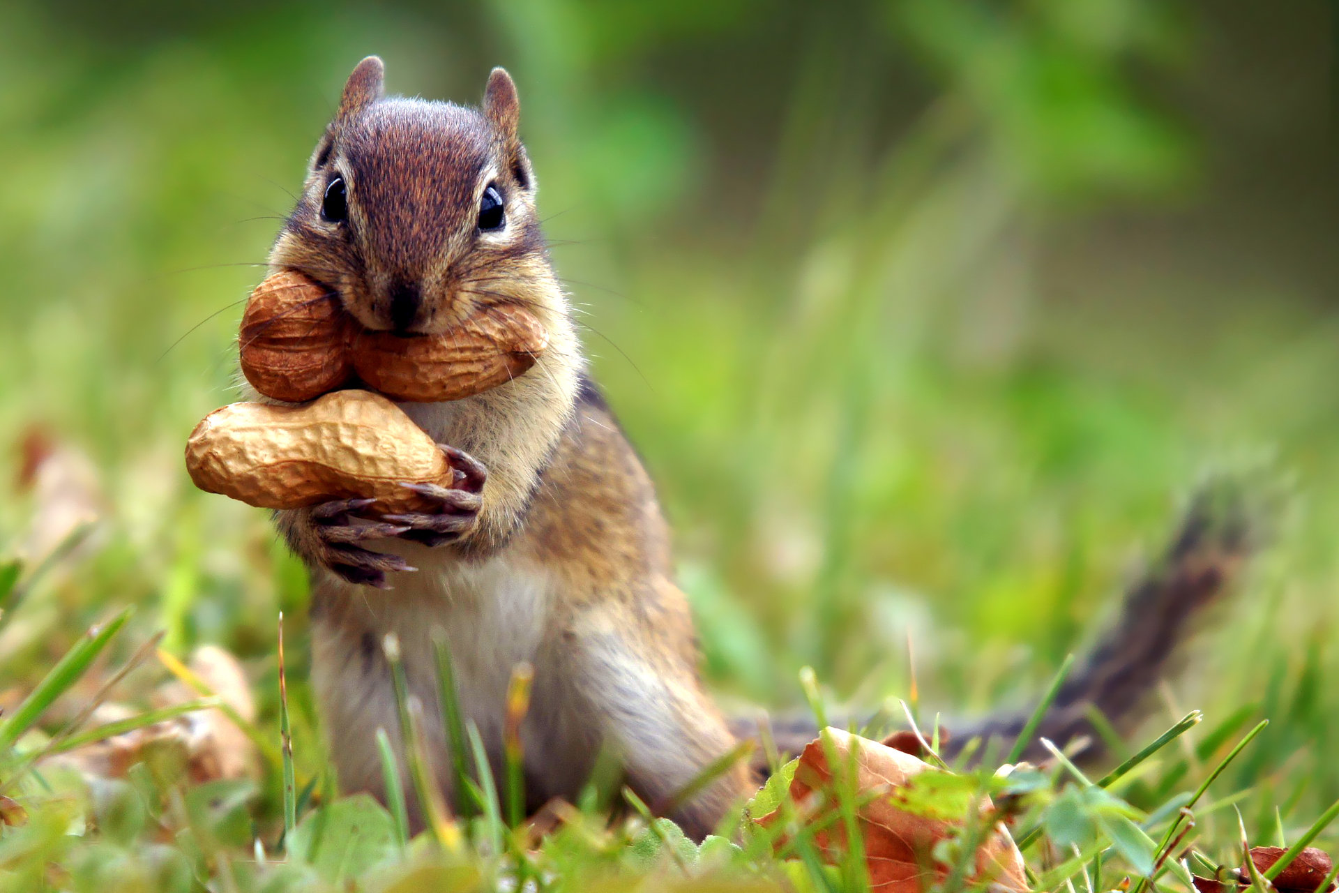 Free download Chipmunk background ID:323109 hd 1920x1280 for PC