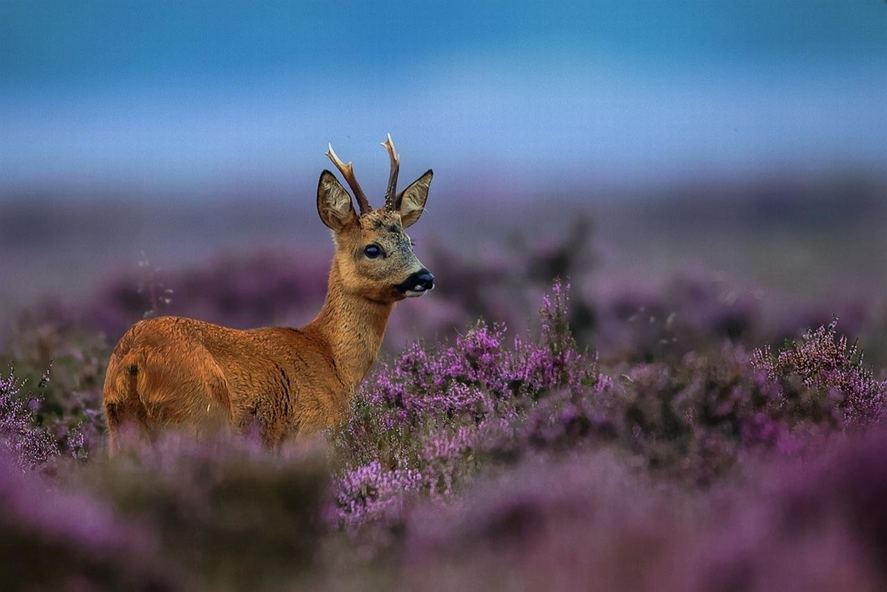 Best Deer wallpaper ID:238787 for High Resolution hd 1280x854 PC