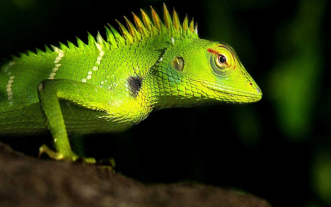 Free Lizard high quality wallpaper ID:444031 for hd 1280x800 PC