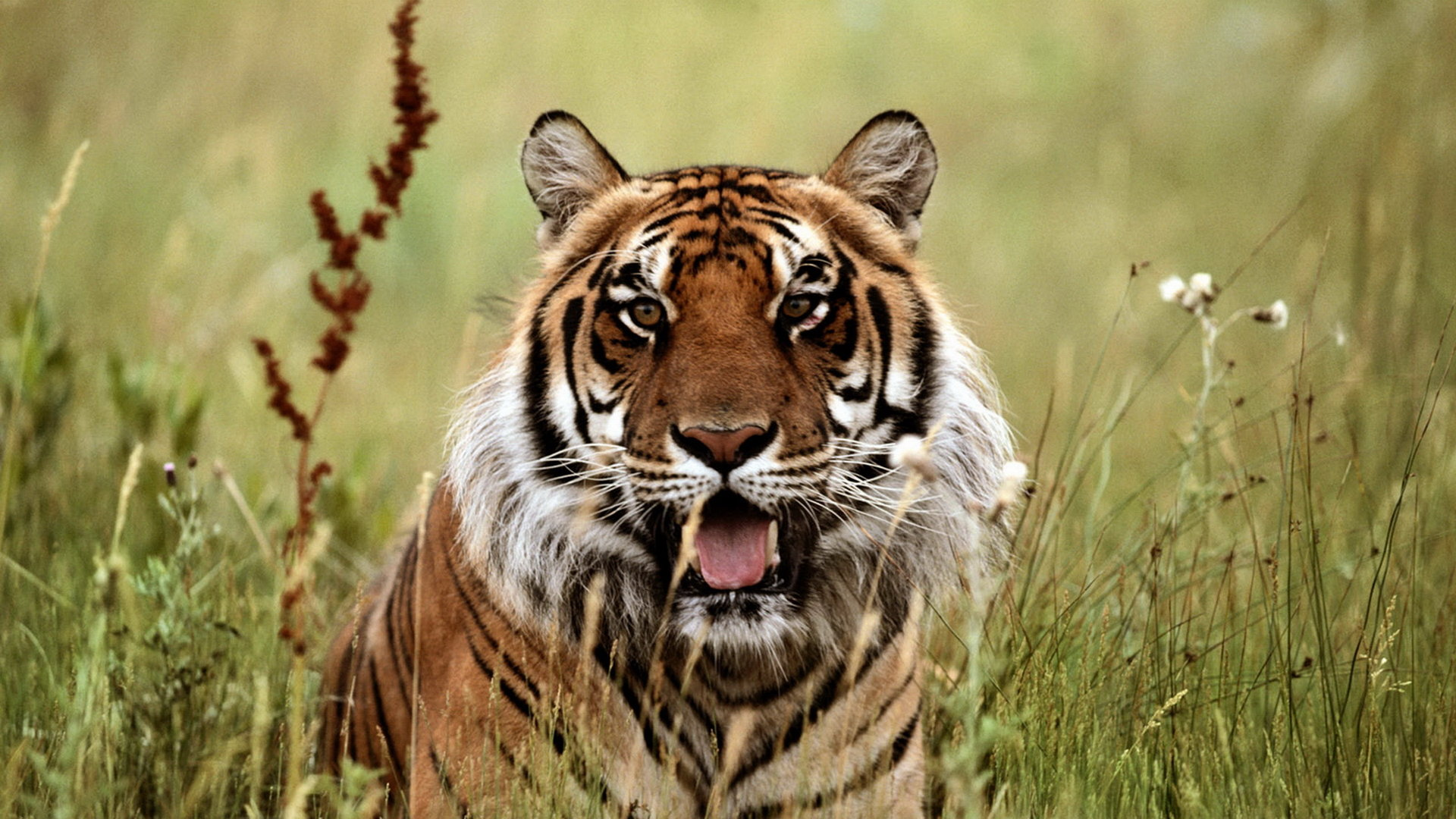 Awesome Tiger free wallpaper ID:116400 for full hd 1920x1080 computer