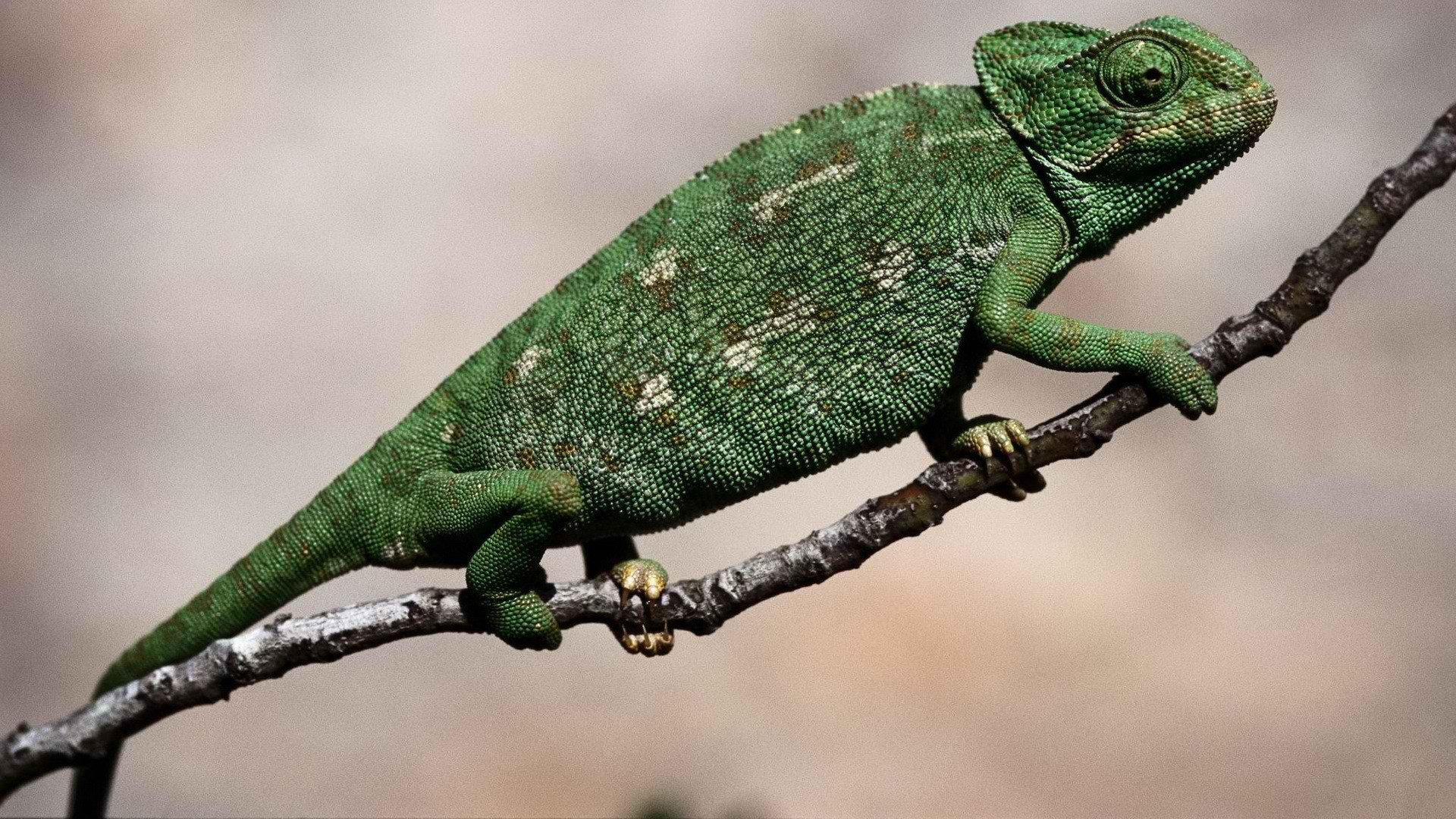Download 1080p Chameleon desktop background ID:462469 for free