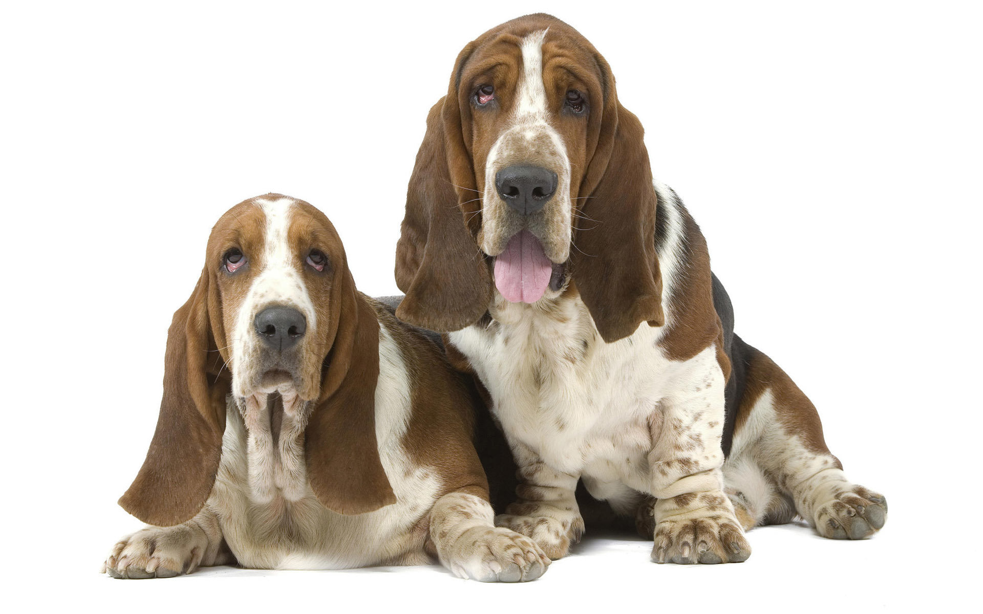 Download hd 1920x1200 Basset Hound desktop background ID:214113 for free