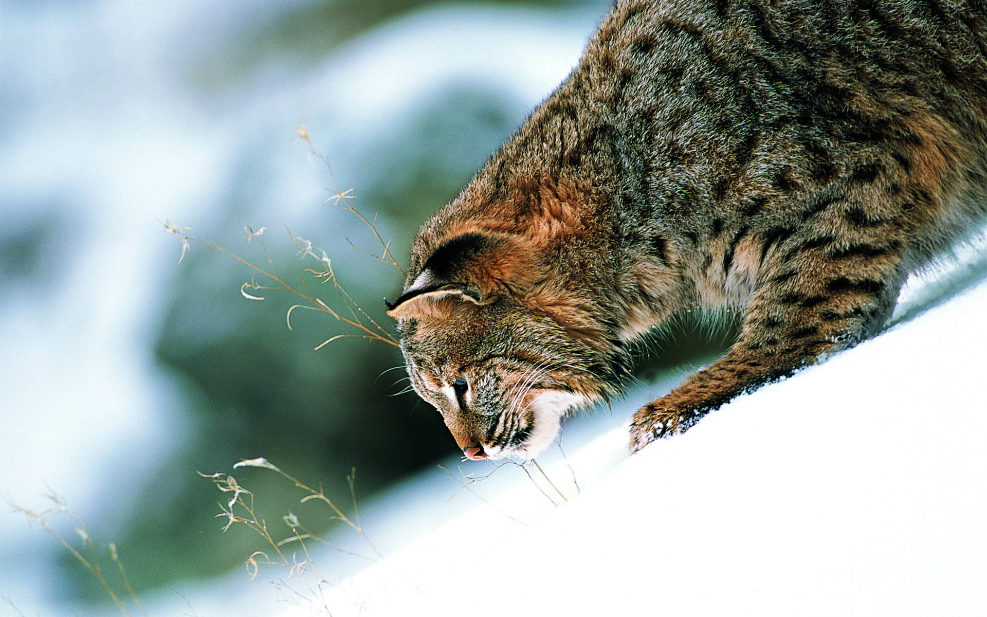 Best Bobcat wallpaper ID:191658 for High Resolution hd 1920x1200 PC