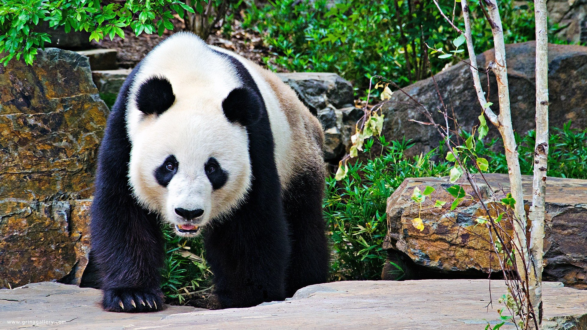 Download full hd 1080p Panda PC background ID:300452 for free