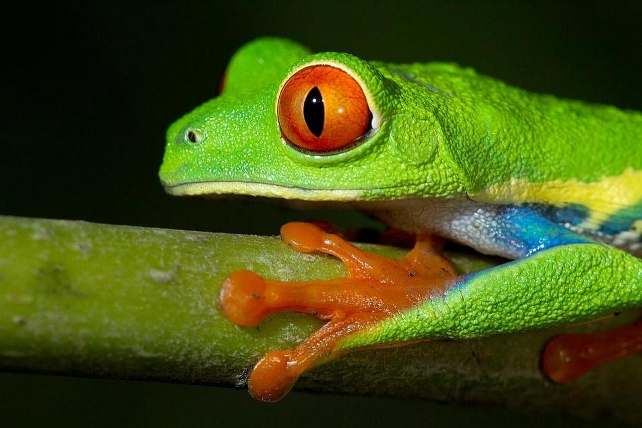 High resolution Frog hd 1280x854 background ID:328823 for desktop