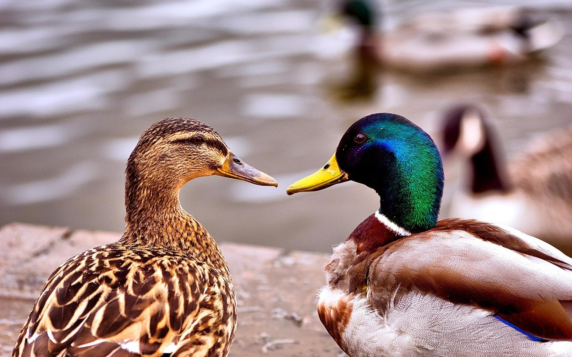 Free Mallard high quality background ID:358197 for hd 1920x1200 desktop