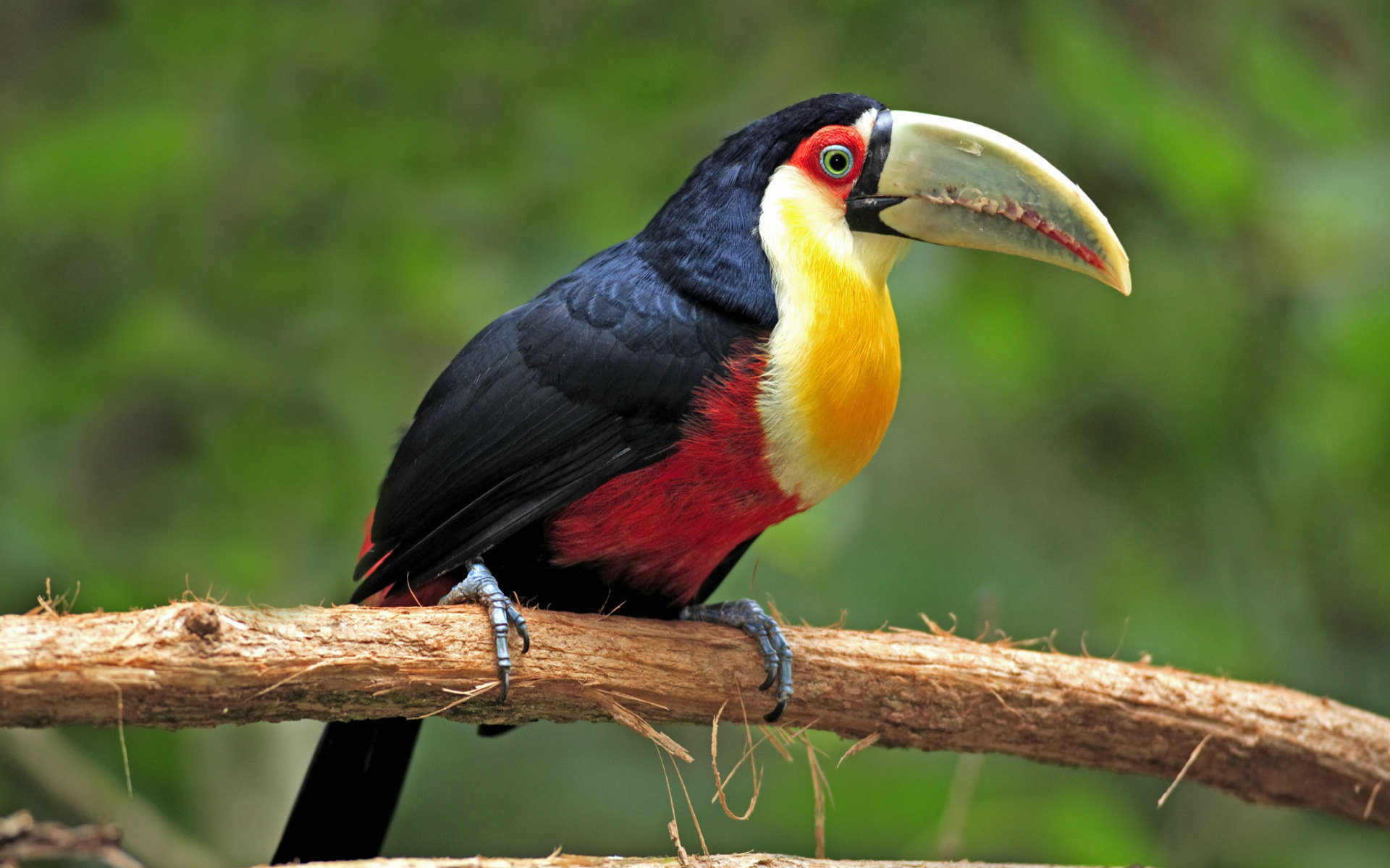 Awesome Toucan free wallpaper ID:57262 for hd 1920x1200 desktop