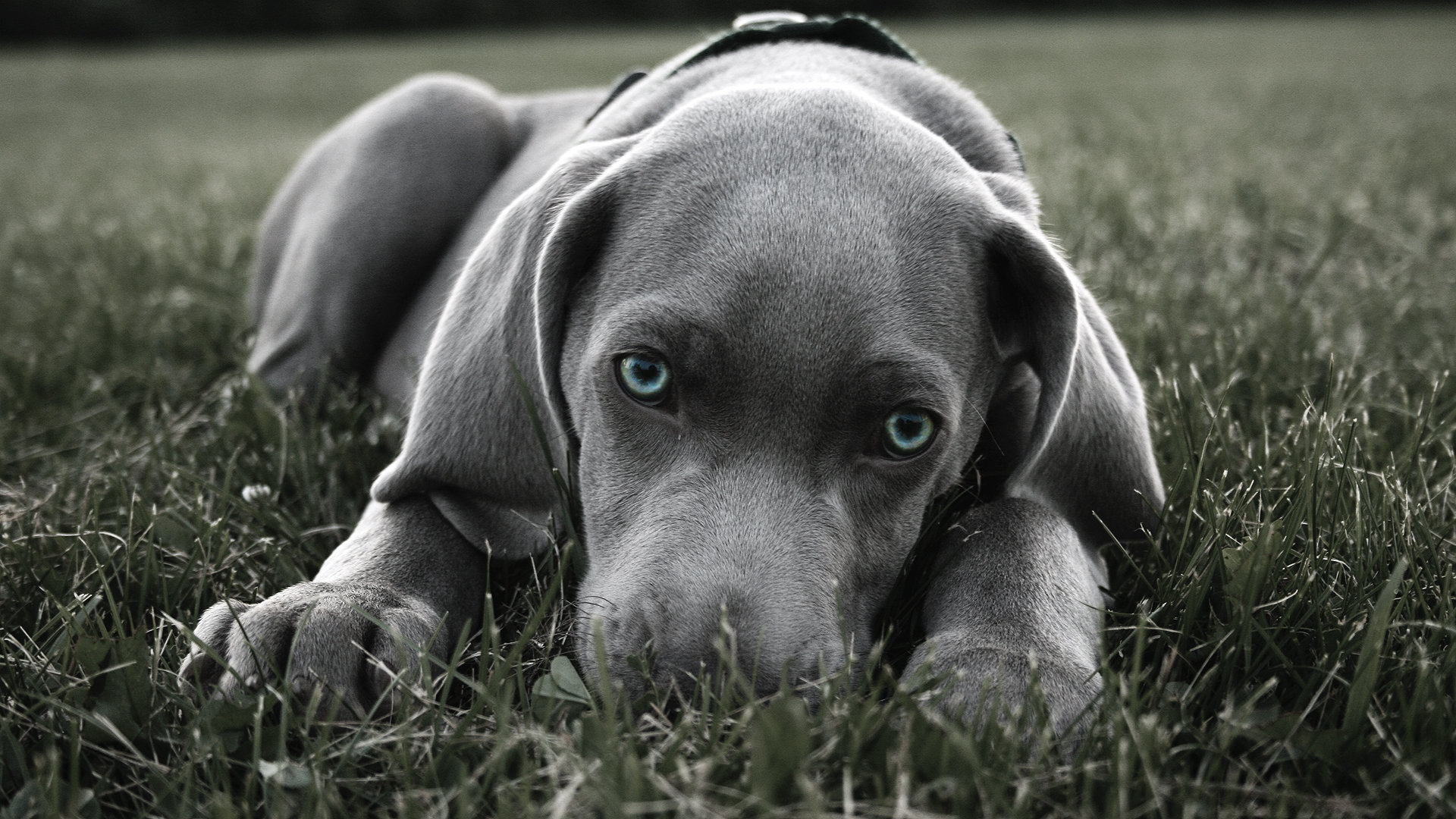 Free Weimaraner high quality background ID:9642 for full hd PC