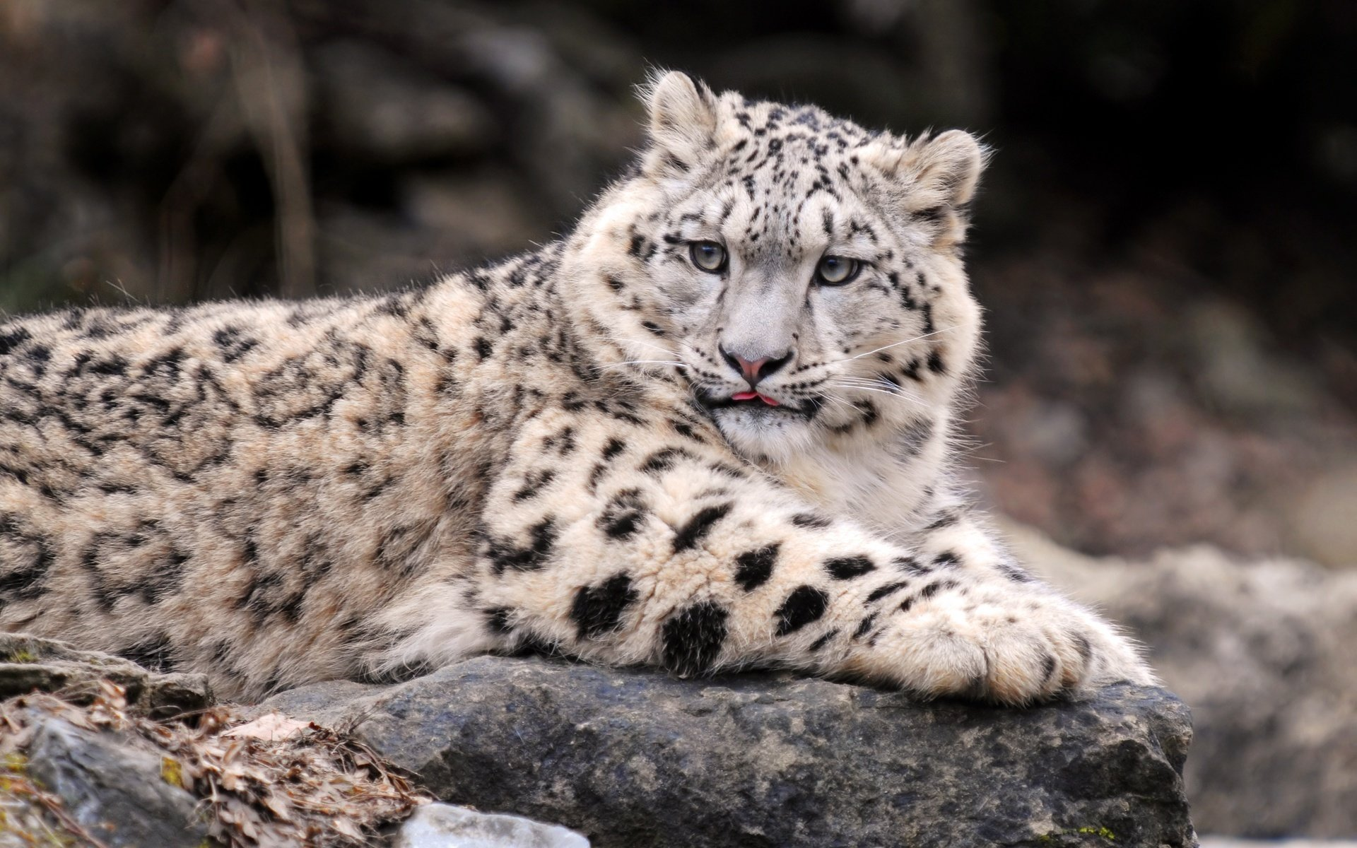 Best Snow Leopard wallpaper ID:34536 for High Resolution hd 1920x1200 PC