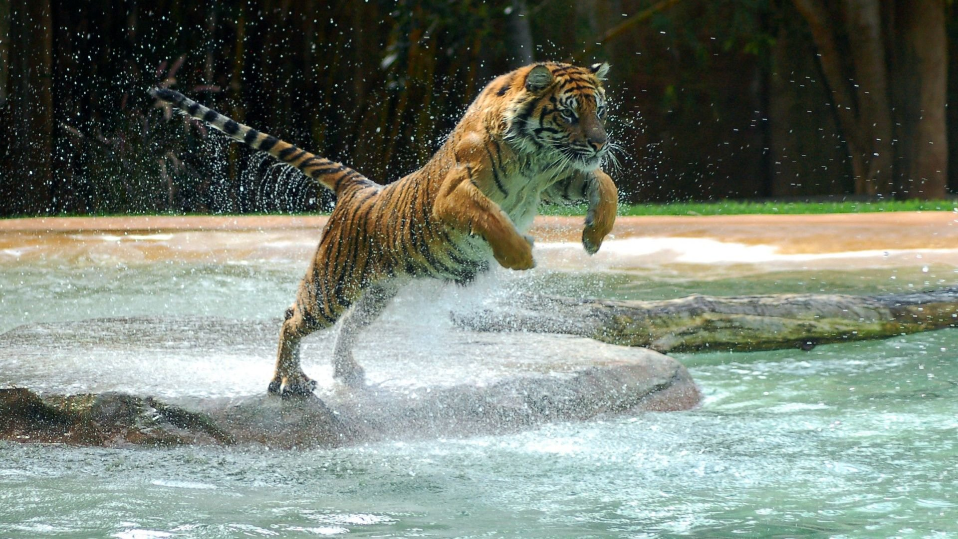 Free download Tiger wallpaper ID:116398 1080p for desktop