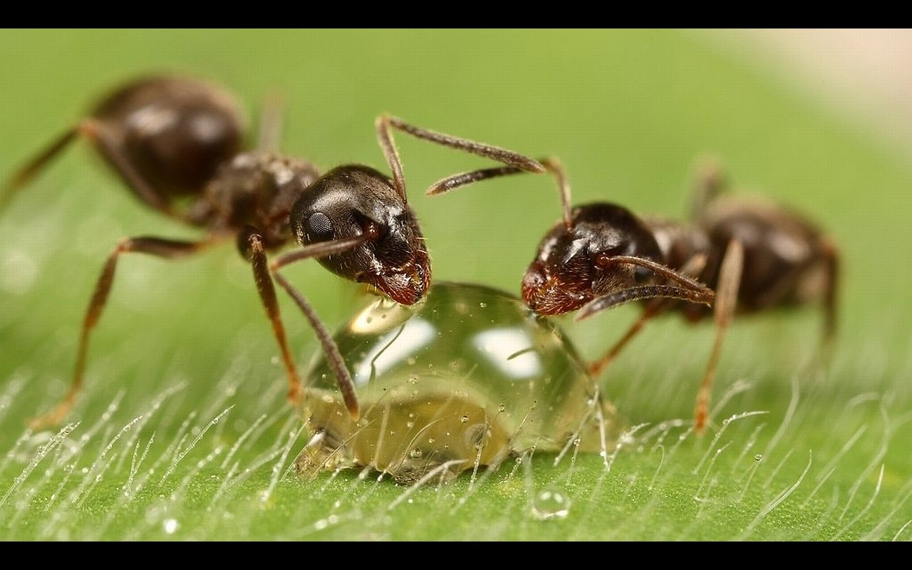Awesome Ant free background ID:401248 for hd 1280x800 PC