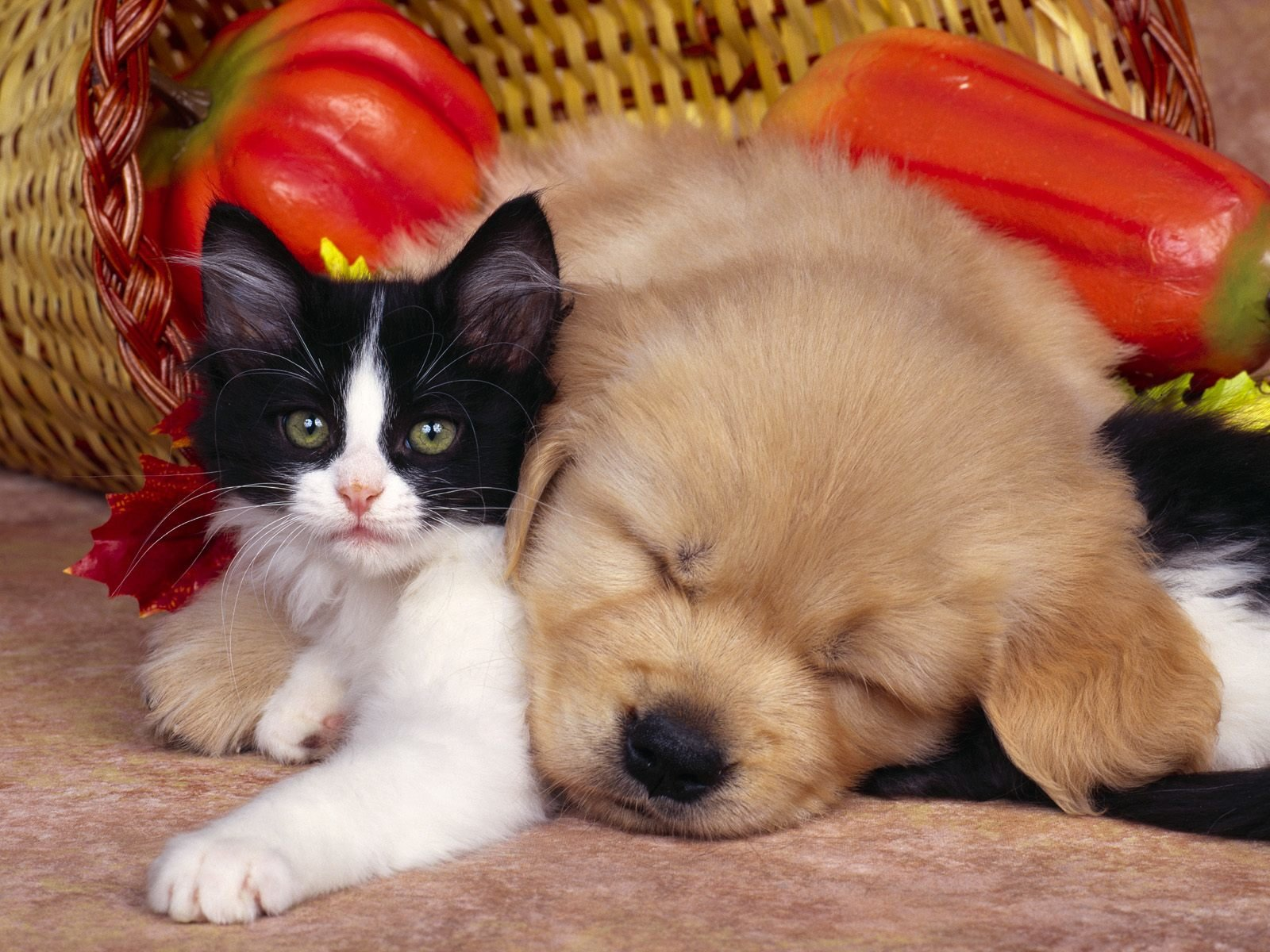 Free Cat and Dog high quality background ID:125331 for hd 1600x1200 PC