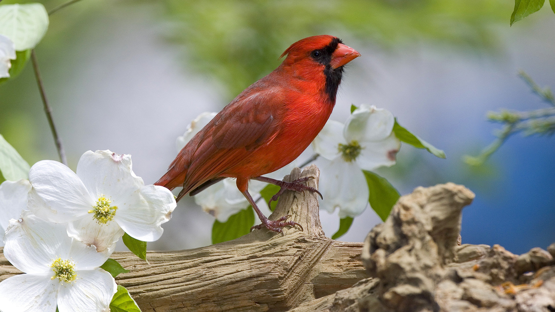 High resolution Cardinal 1080p background ID:24659 for desktop