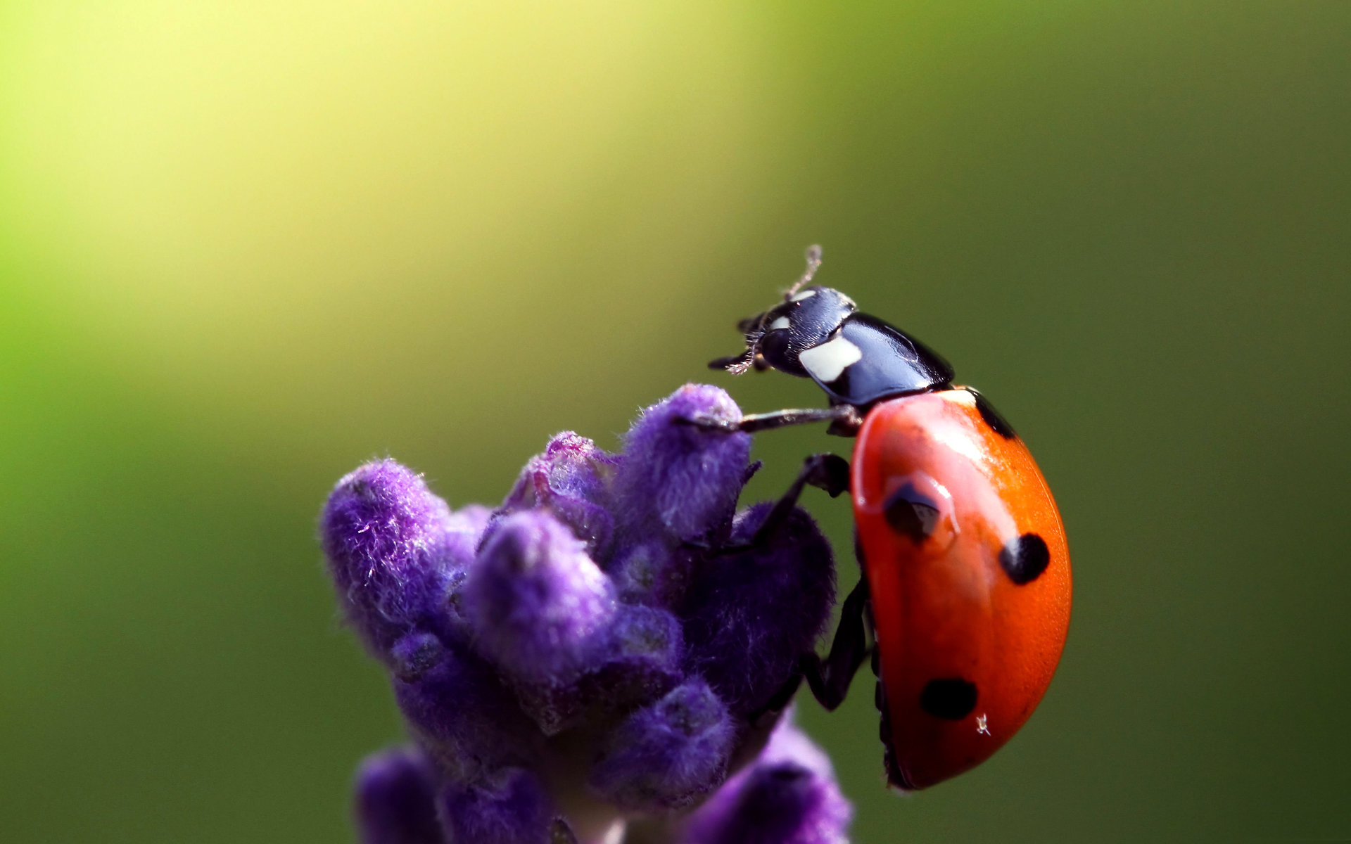 Download hd 1920x1200 Ladybug desktop background ID:270473 for free