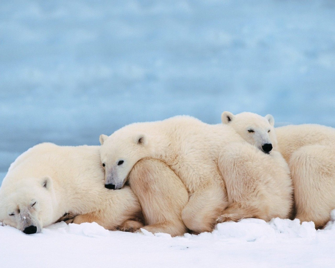 High resolution Polar Bear hd 1280x1024 background ID:359722 for PC