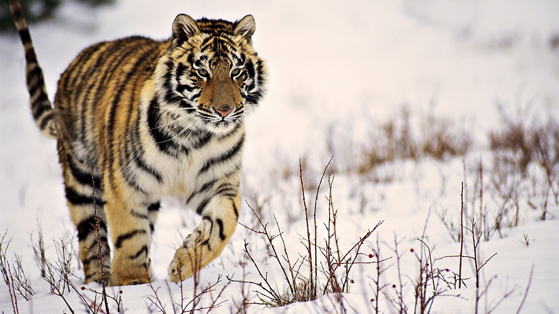 Awesome Tiger free background ID:116688 for hd 1920x1080 PC