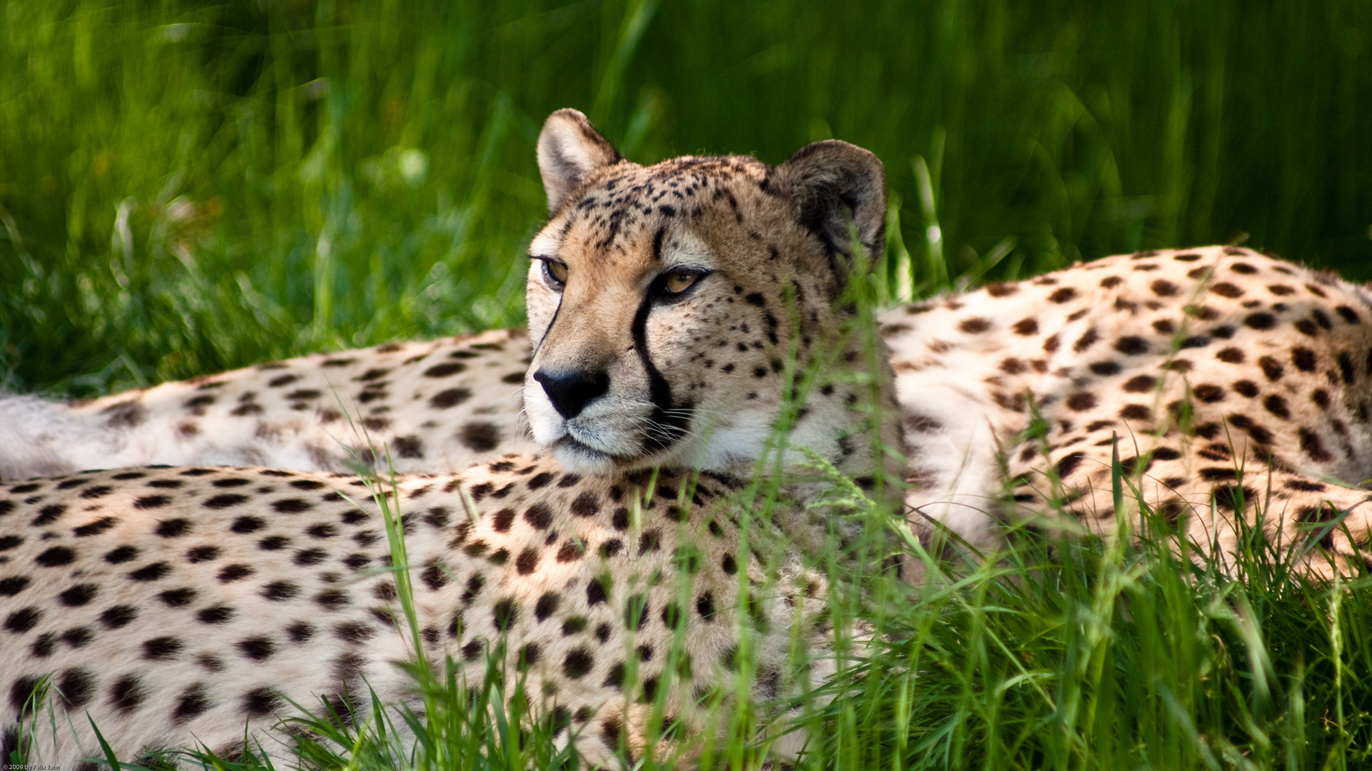Free Cheetah high quality background ID:161878 for full hd 1080p PC