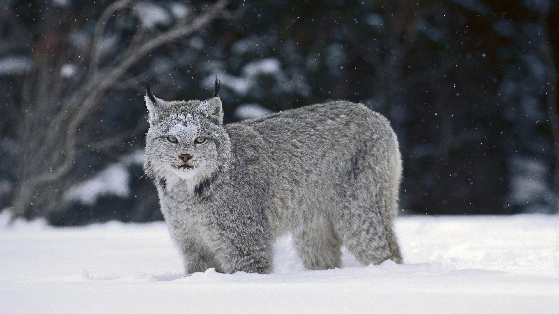 High resolution Lynx full hd 1080p wallpaper ID:105861 for computer