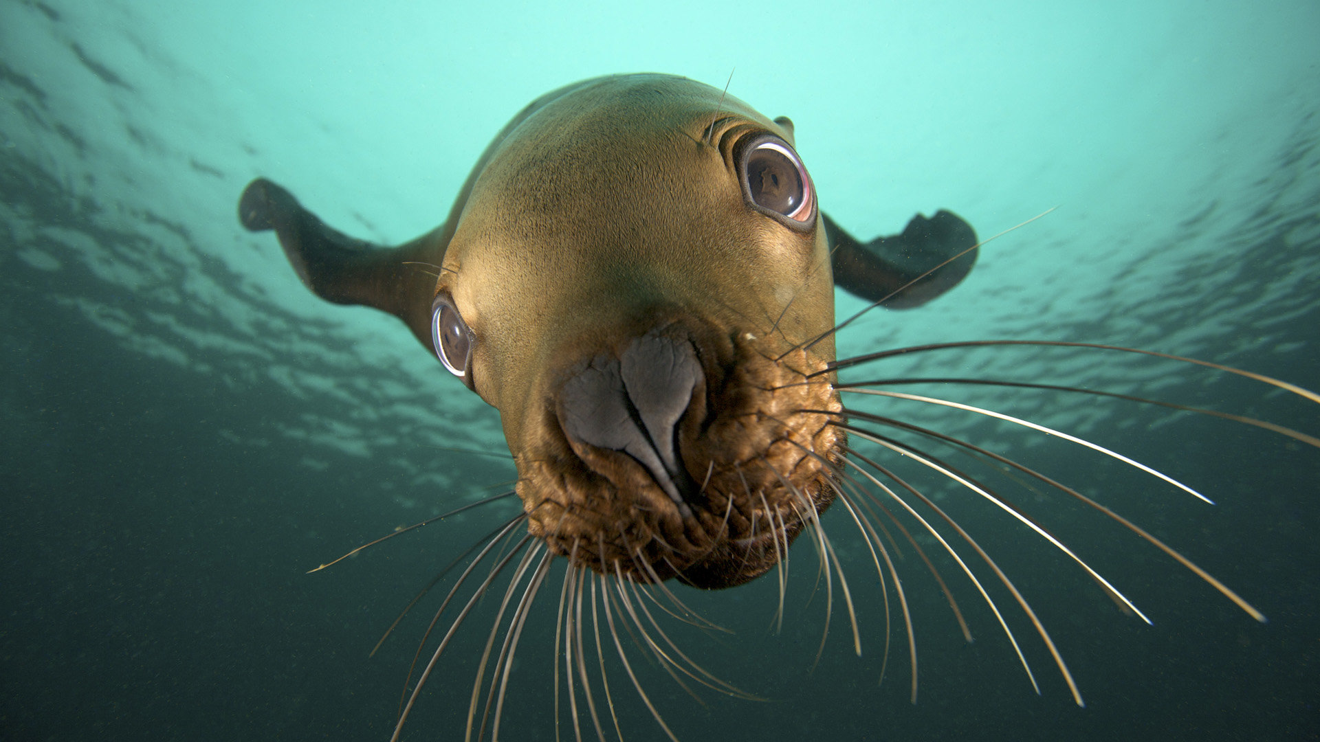 Download full hd 1920x1080 Seal PC background ID:183403 for free