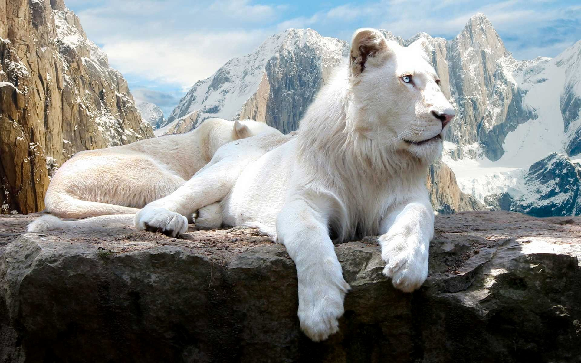 Free White Lion high quality wallpaper ID:237717 for hd 1920x1200 computer