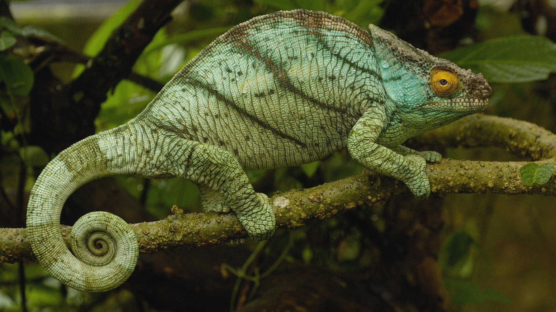 Free download Chameleon wallpaper ID:462549 hd 1920x1080 for desktop