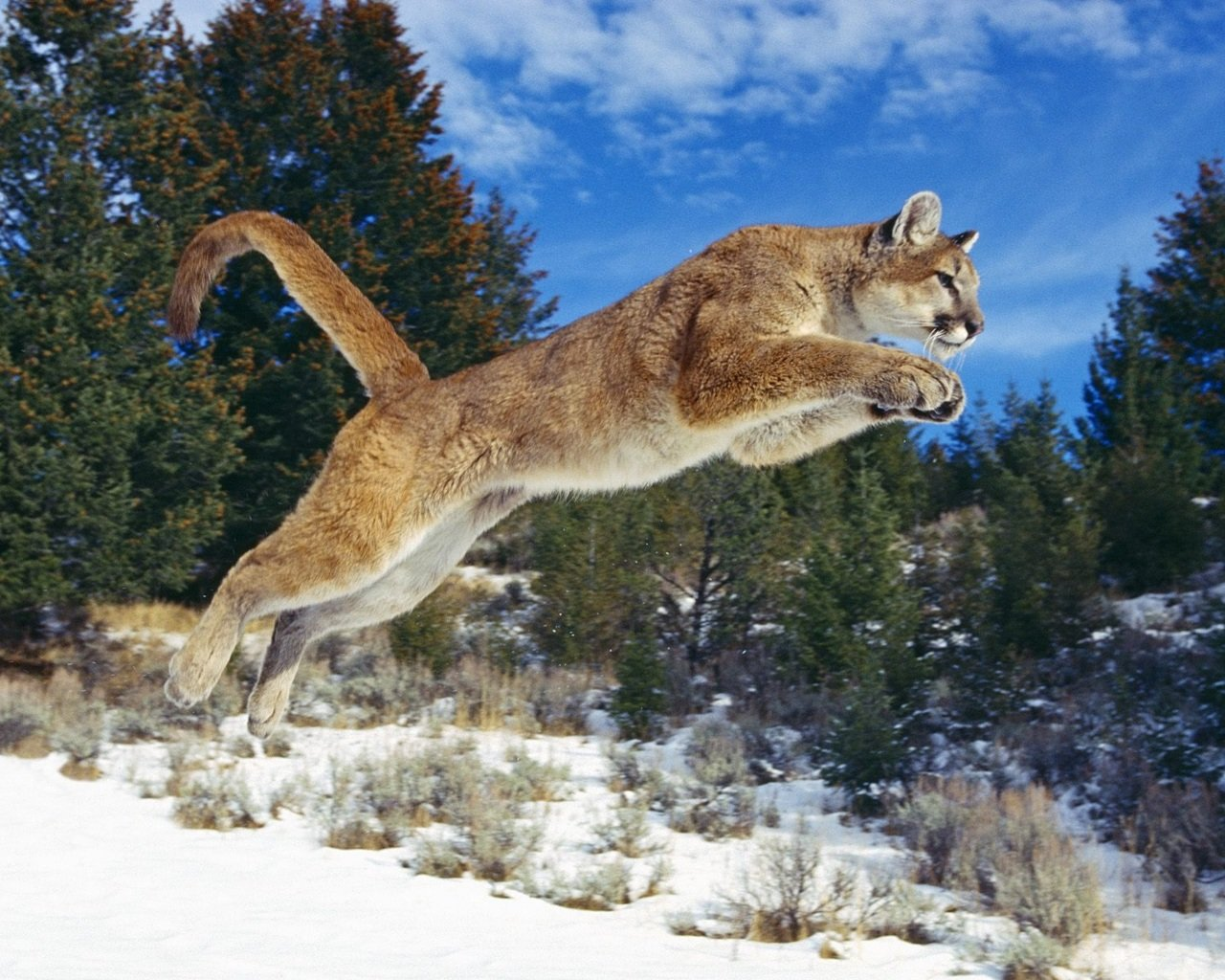 Download hd 1280x1024 Cougar PC background ID:81726 for free