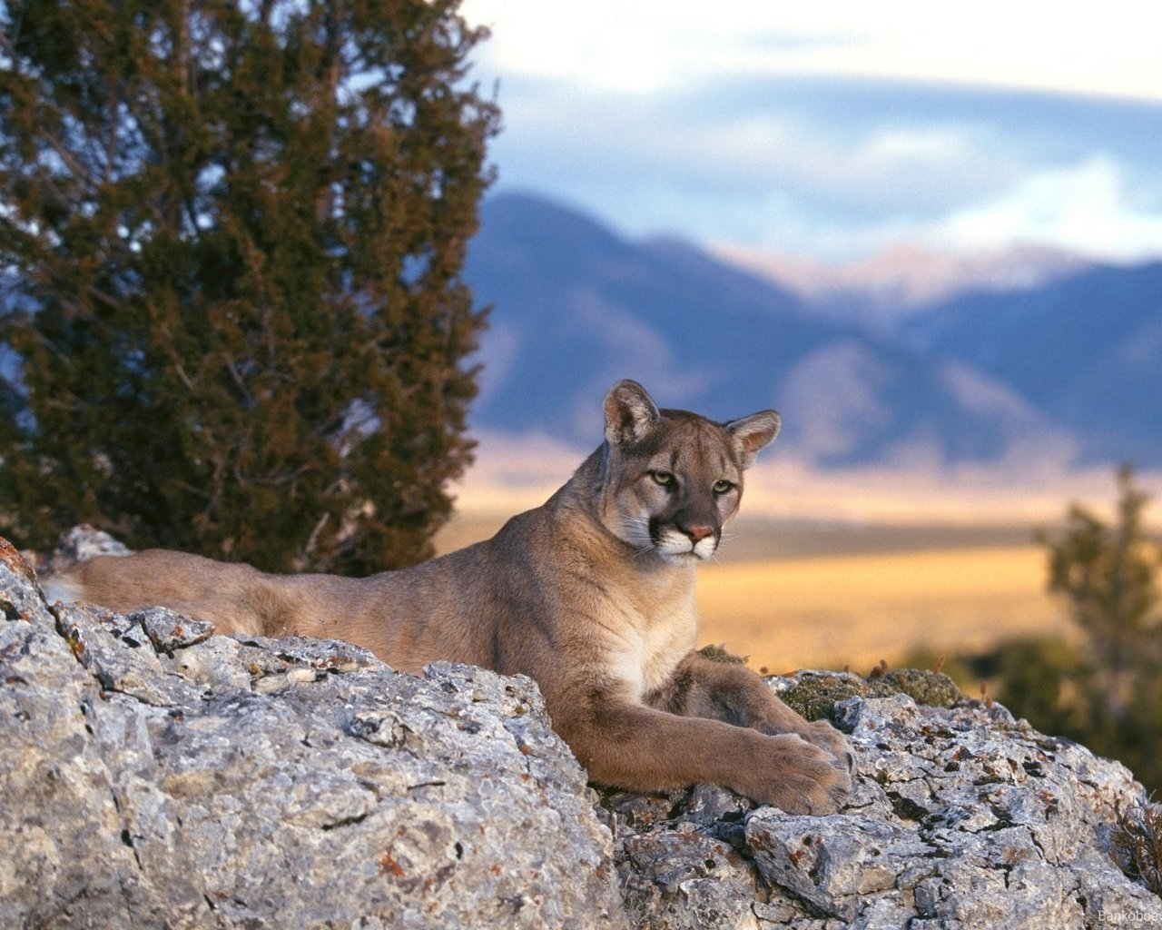 Awesome Cougar free wallpaper ID:81769 for hd 1280x1024 desktop