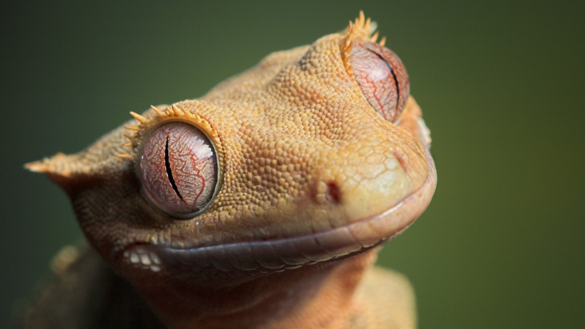 Awesome Gecko free background ID:114505 for full hd 1920x1080 desktop