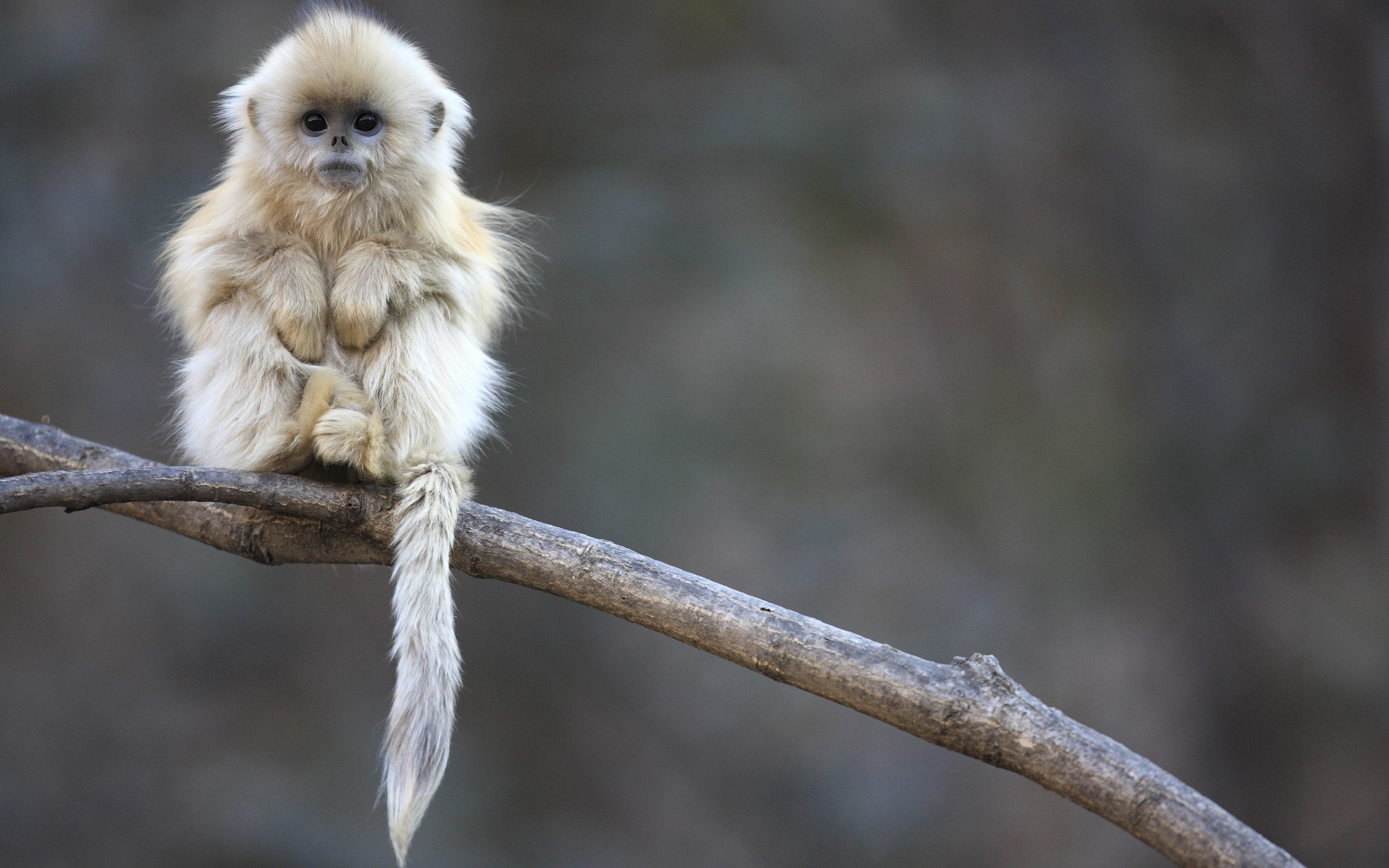 Free download Golden Snub-nosed Monkey wallpaper ID:29630 hd 2560x1600 for computer