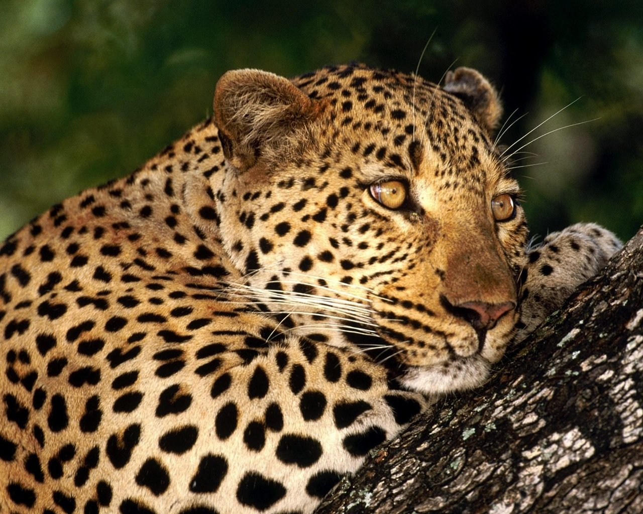 Awesome Leopard free background ID:447882 for hd 1280x1024 PC
