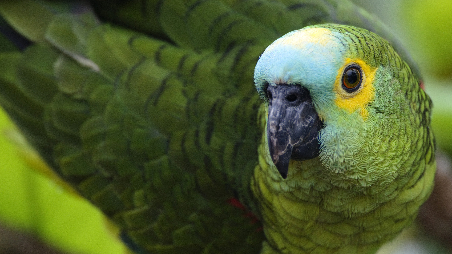 Awesome Parrot free wallpaper ID:25803 for hd 1920x1080 computer