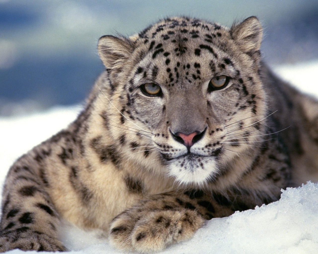 Awesome Snow Leopard free background ID:34443 for hd 1280x1024 computer
