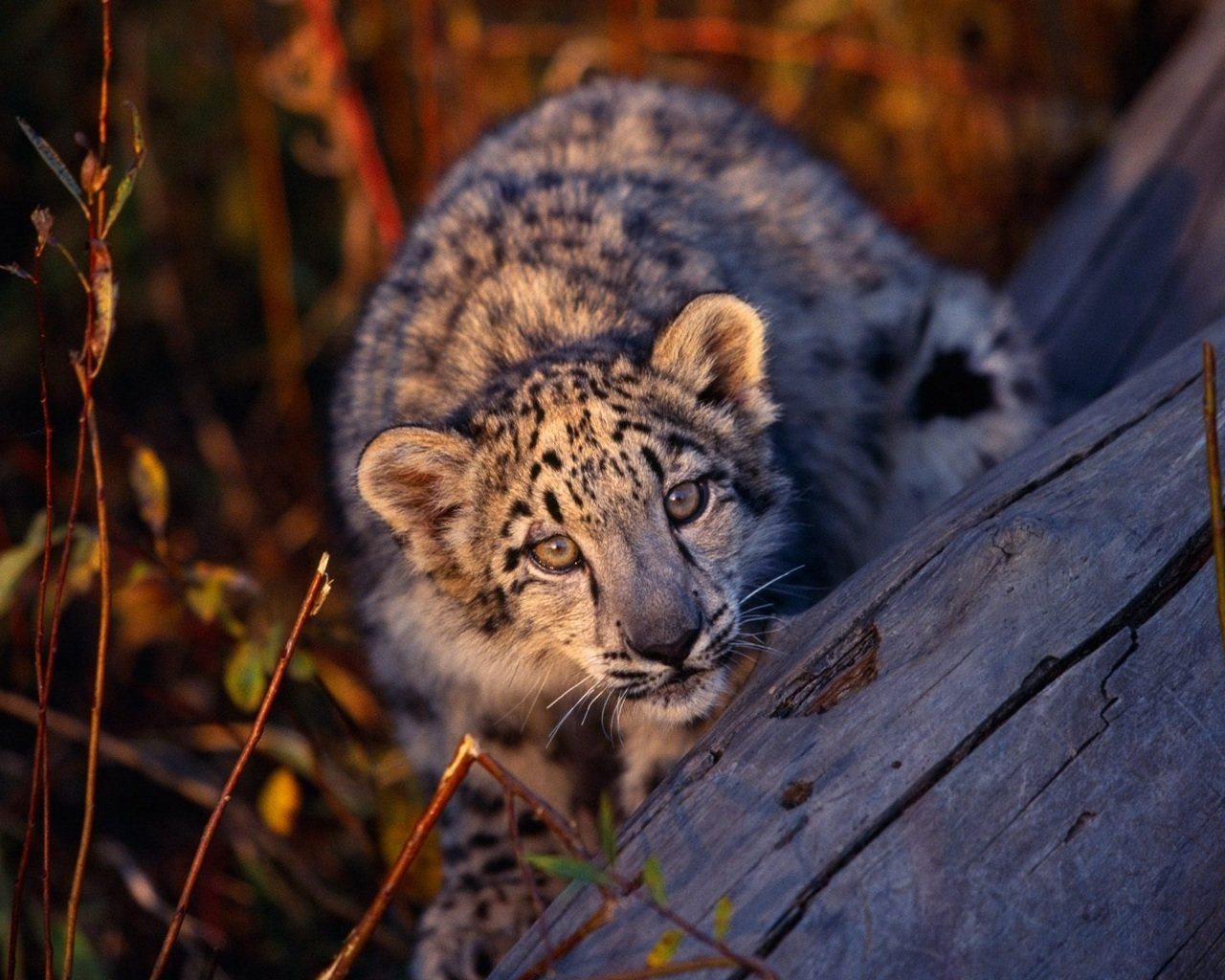 Awesome Snow Leopard free wallpaper ID:34535 for hd 1280x1024 computer