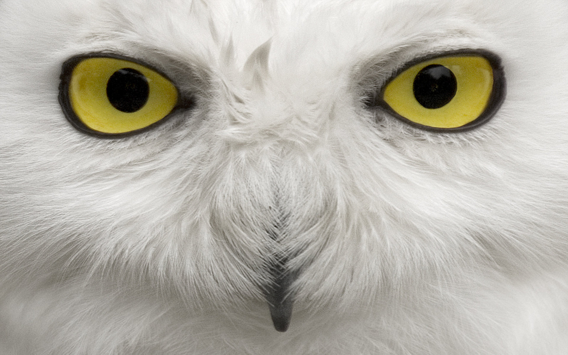 Free Snowy Owl high quality background ID:26796 for hd 1920x1200 desktop