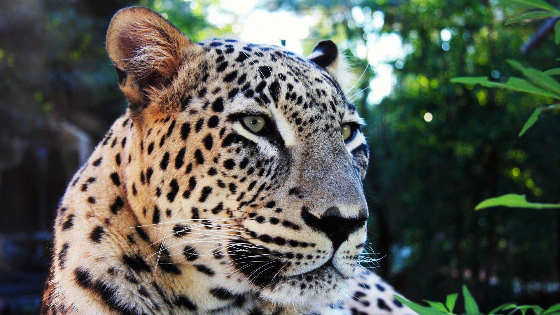 Best Leopard background ID:447883 for High Resolution hd 1080p PC